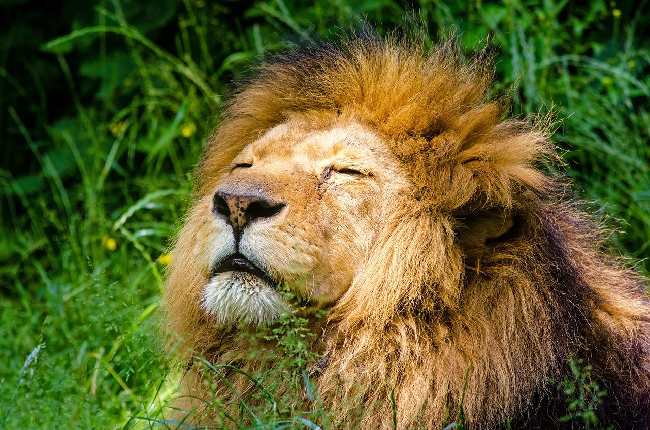 A lion laying on grass enjoying the sun. Gorilla Meme