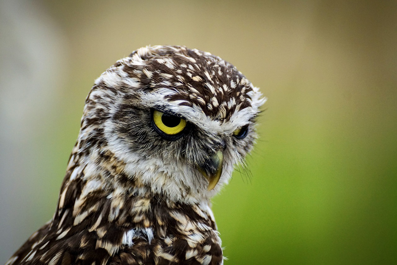 A owl looking irritated. The background is out of focus. Gorilla Meme