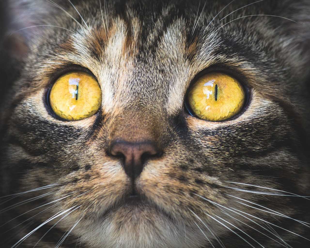 House cat with large yellow eyes looking up. Gorilla Meme