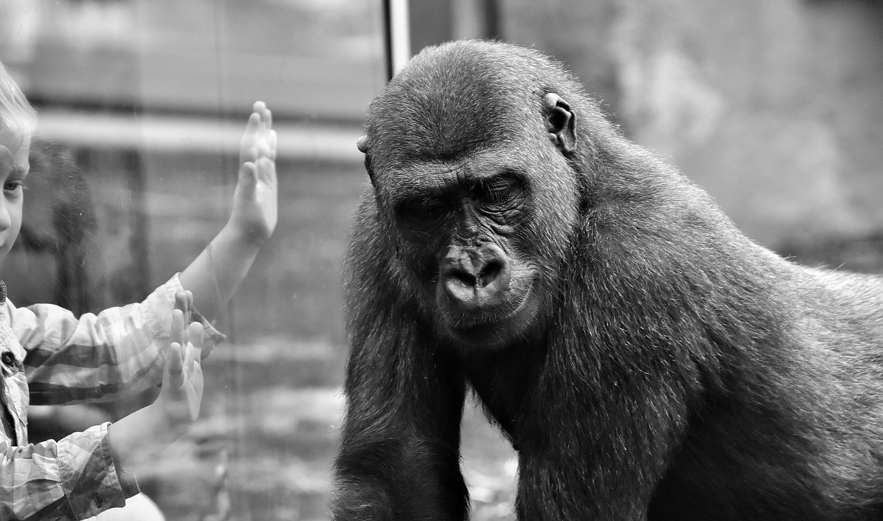Sad Gorilla. A gorilla looking away from a window. A human kid looks through the window with hands pressed against the glass looking at the gorilla. Gorilla Meme