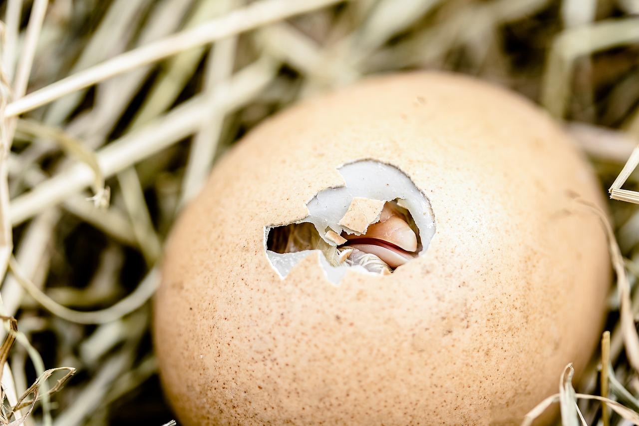 A bird egg hatching. The beak is shown through a whole in the egg. Gorilla Meme