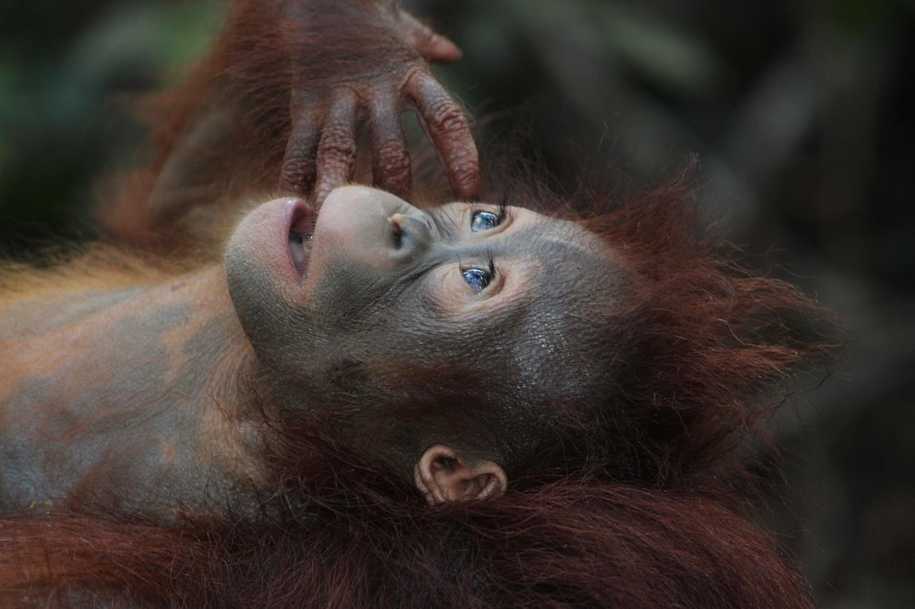 Orangutan laying down looking up in wonder.